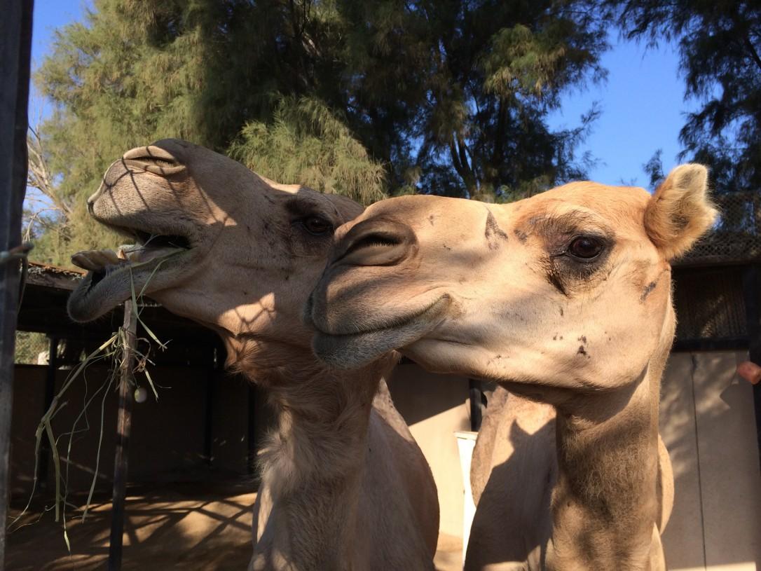 Hotellin omat kamelit olivat lasten ilona päivittäin