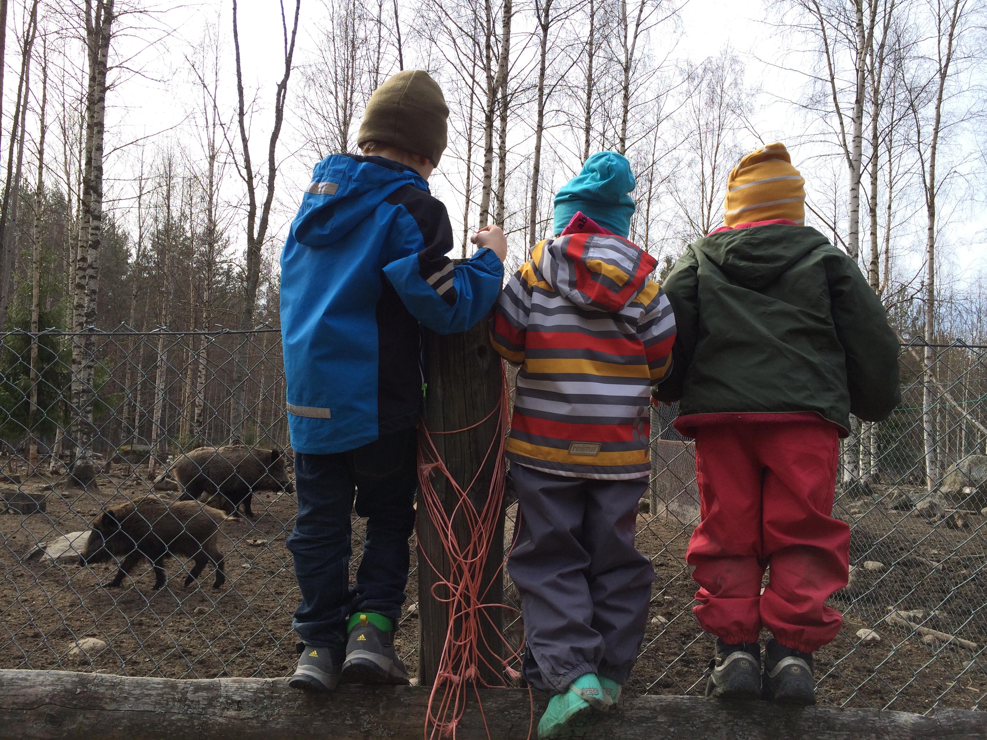 Naapuritilan villisiat olivat kiinnostavaa katseltavaa.
