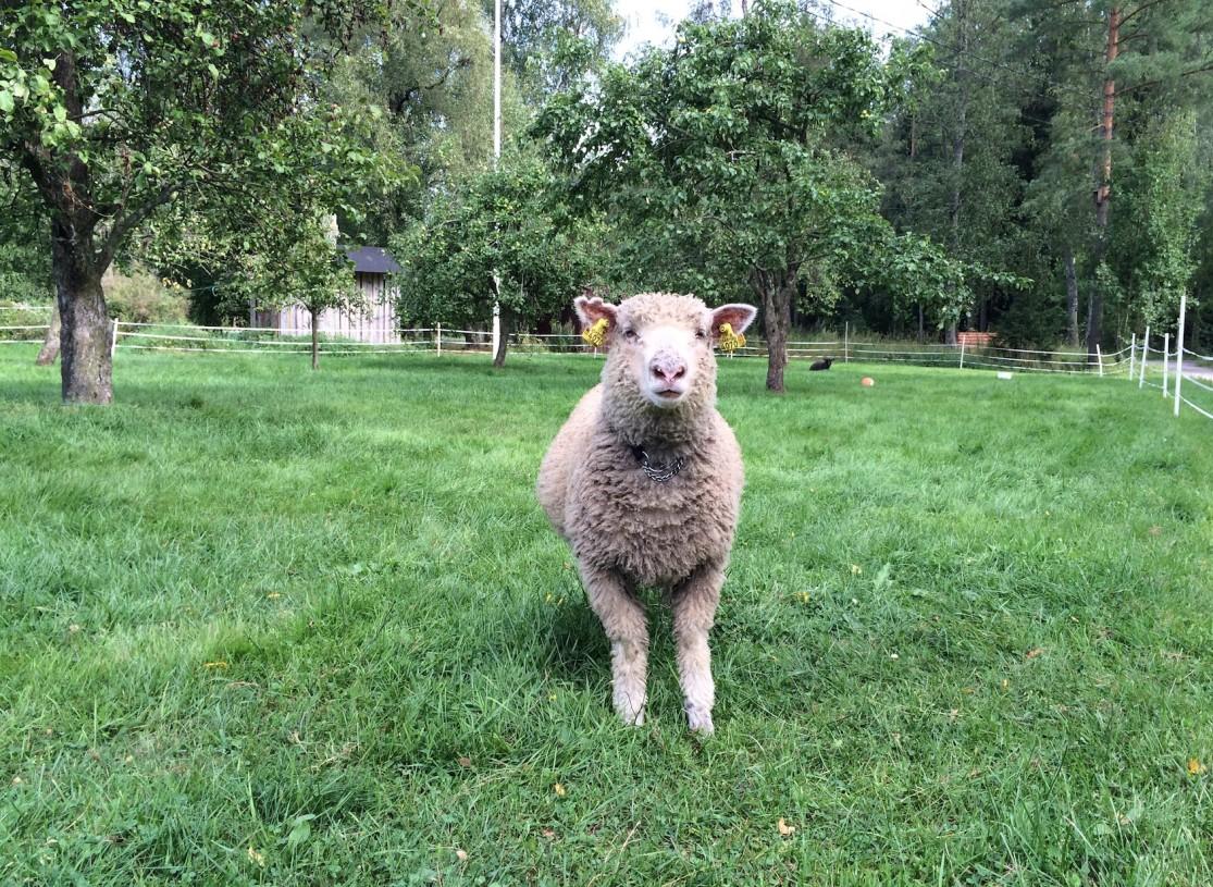 Hanko Sjöberg lammas