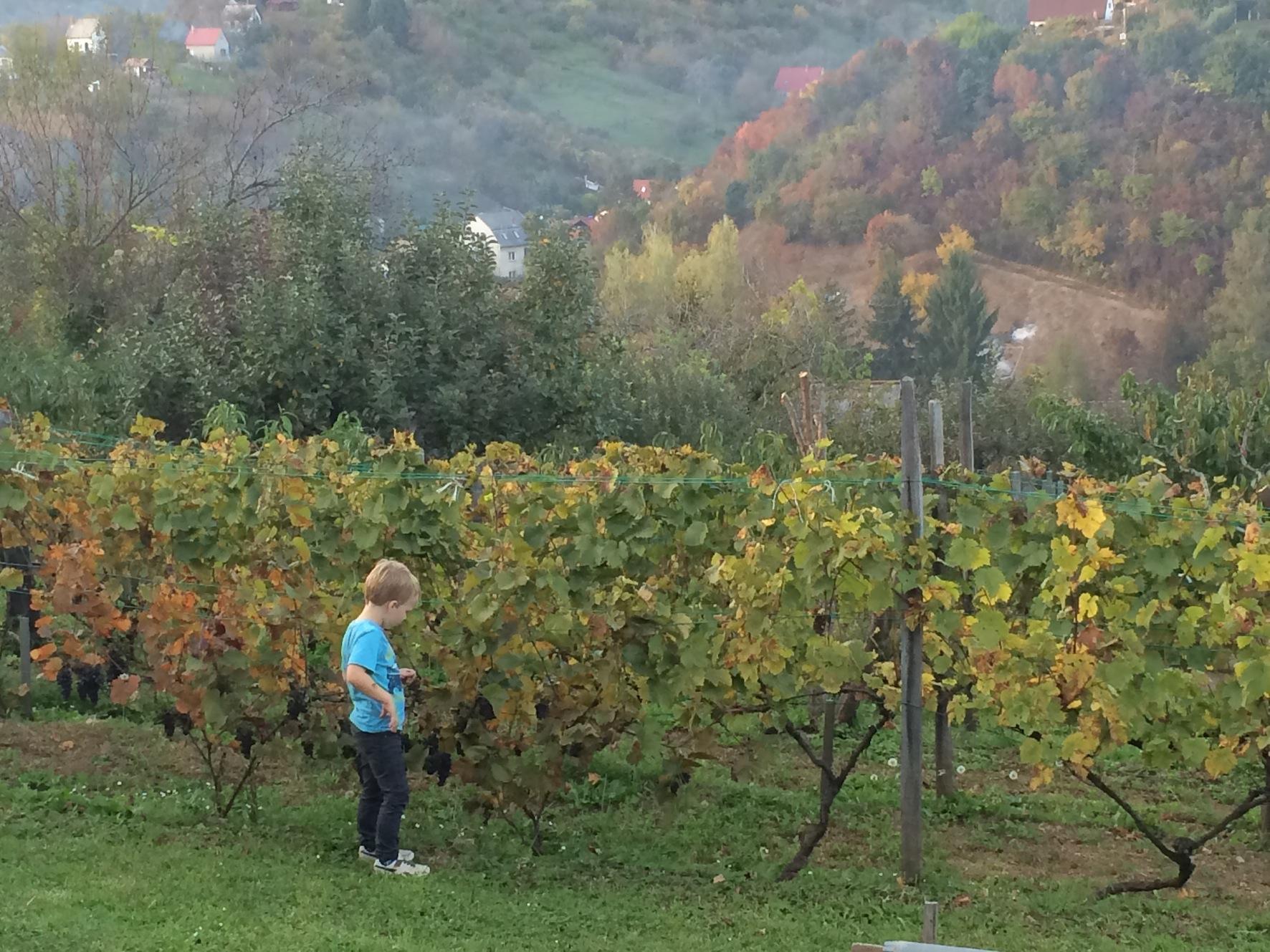 Unkari viinirypäleet