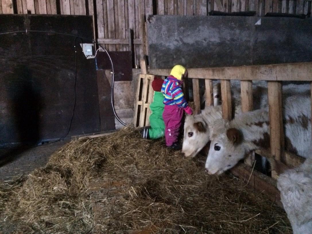 Maito haetaan mökillä läheisestä navetasta