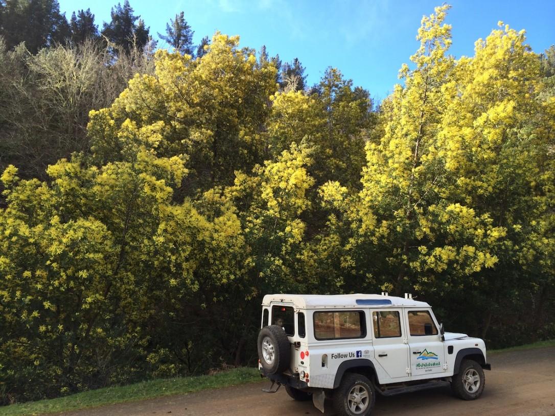 Helmikuussa kukkivat Mimosat vuoristossa tehden näkymästä uskomattoman kauniin.