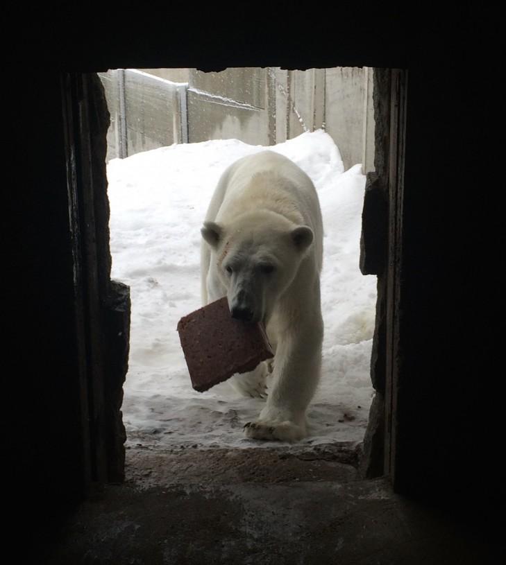 Pääsimme ihailemaan jääkarhuja ihan kosketusetäisyydeltä.