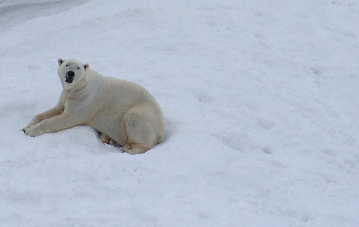 Jääkarhut olivat vaikuttavia myös aitauksen reunalta ihailtuna.